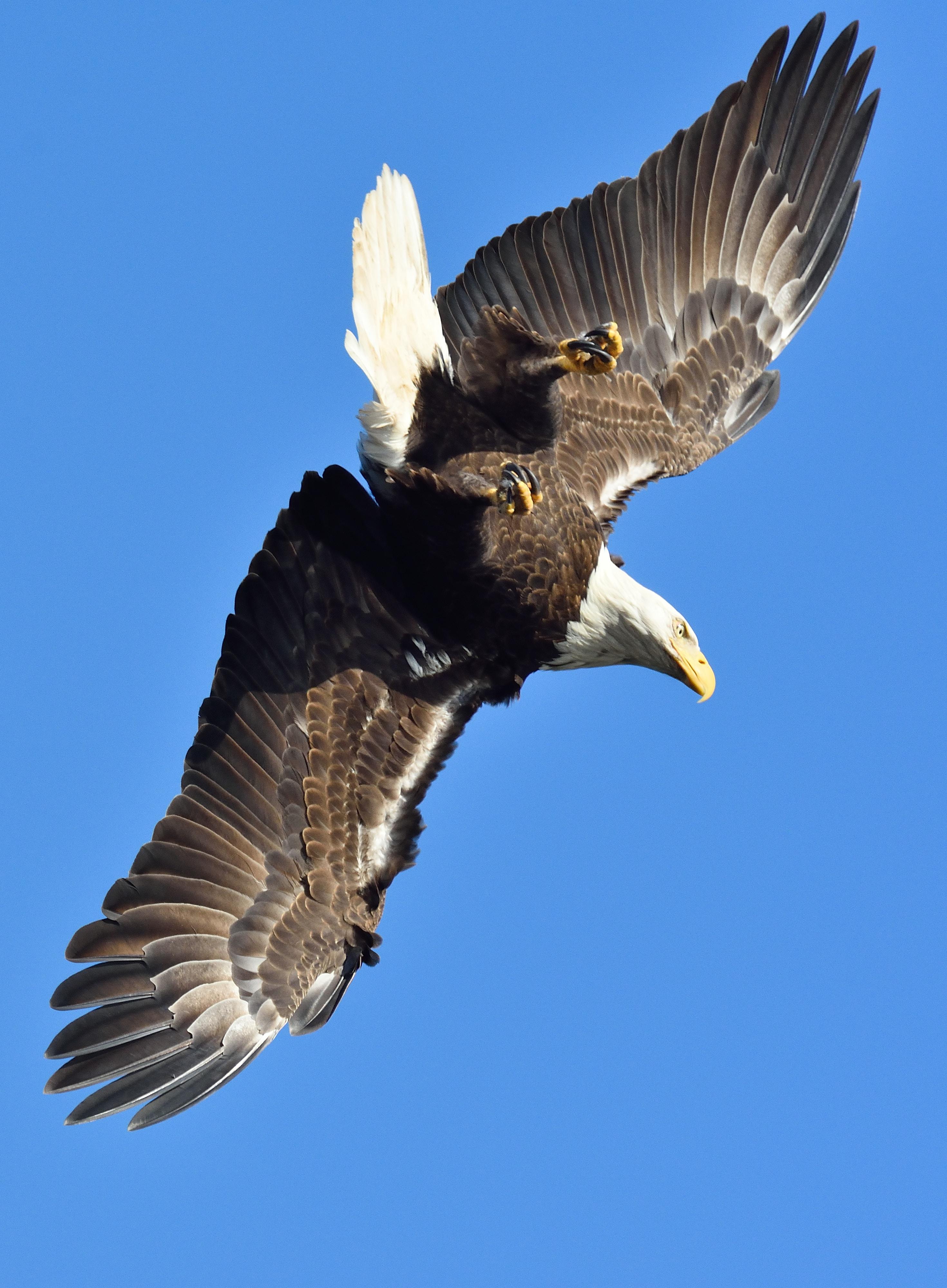 eagle A
