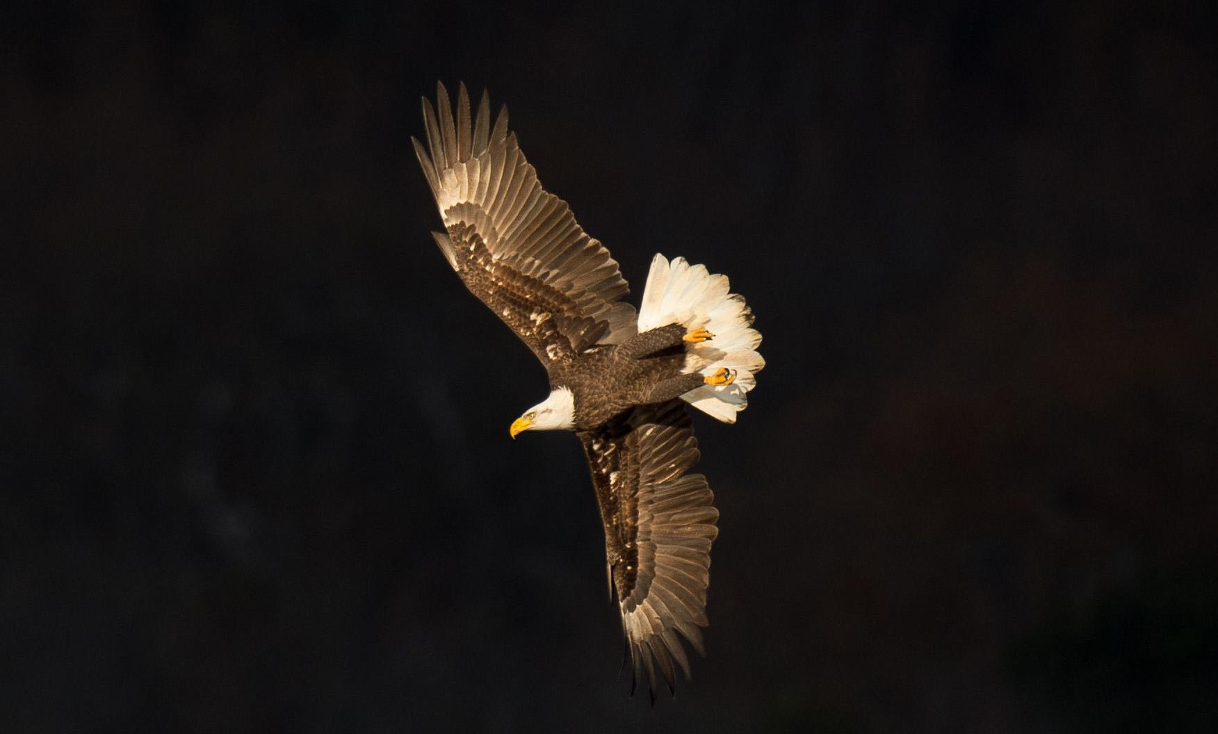 eagle black bkgnd