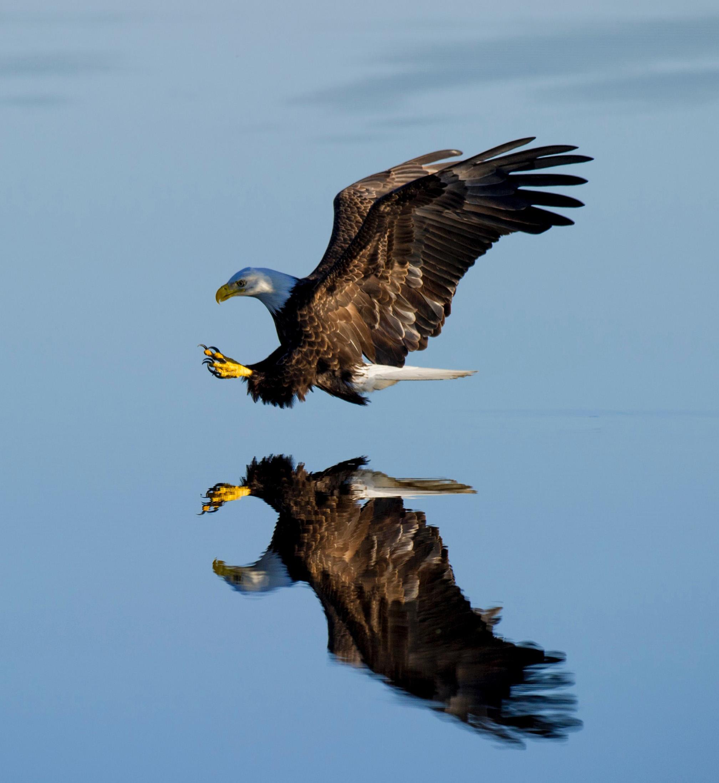 eagle reflection